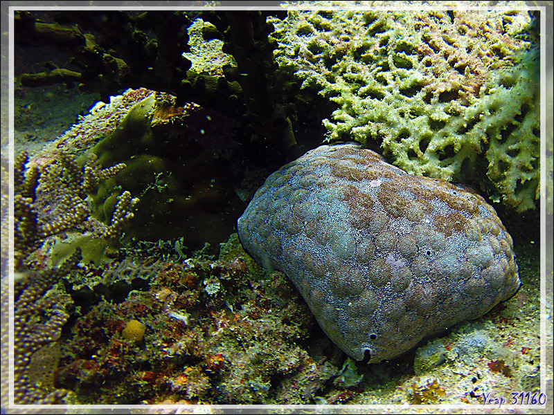 Etoile-coussin, Culcite, Etoile-coussin requin, Cushion-star, Spiny cushion star, Pillow starfish (Culcita schmideliana) - Nosy Mitsio - Madagascar