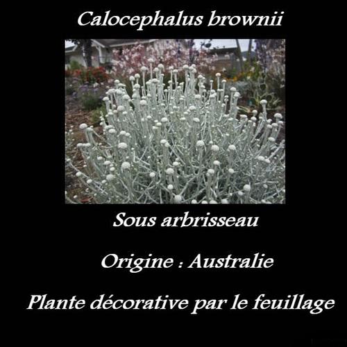 Calocephalus brownii
