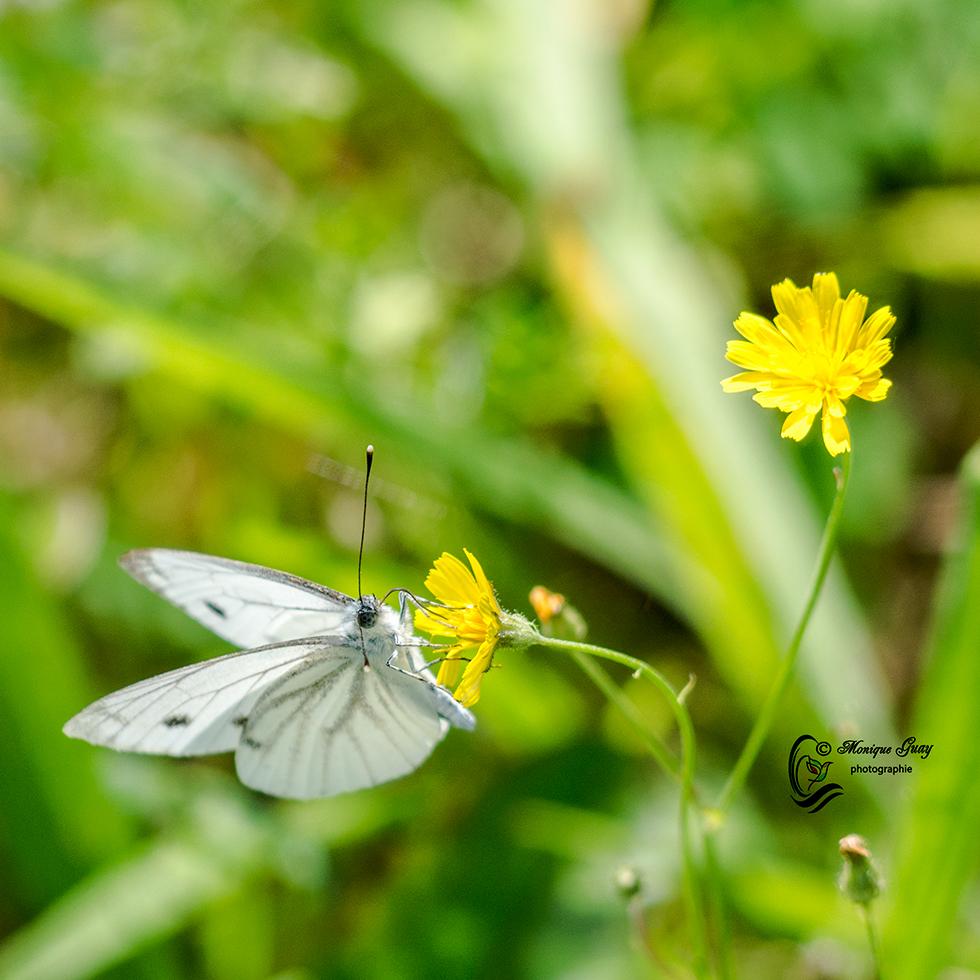 Piéride aux ailes blanches