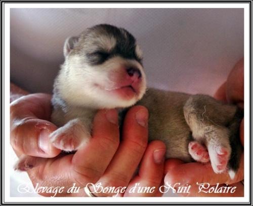 Chiot Husky Femelle 3 (4j)