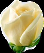 PNG képek: Rózsák