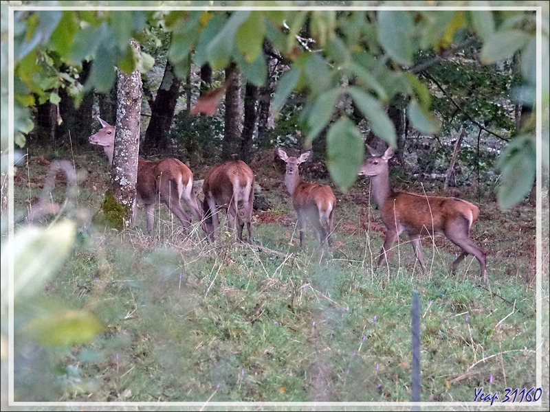 03/10/2020, 8 h 00 :  dans le bois nous jouxtant, une partie du petit harem du cerf 10 cors, mais ce matin c'est chiasse, alors ...- Lartigau - Milhas - 31