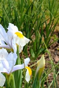 Iris de Hollande ou Iris Hollandica ou Iris bulbeux