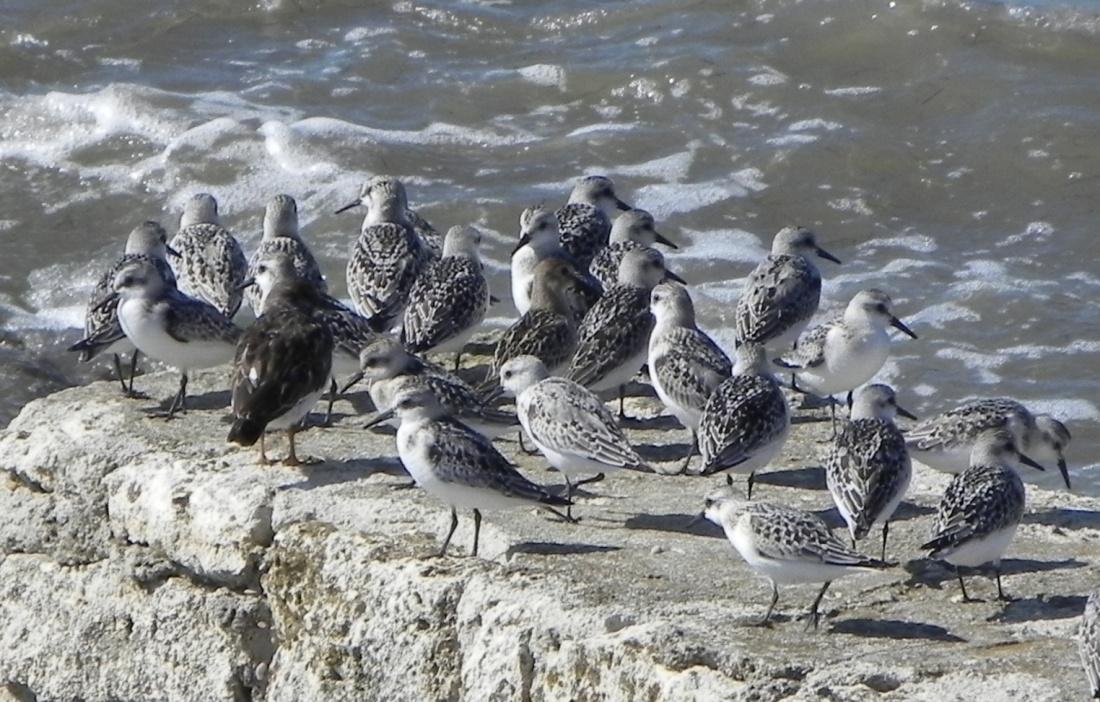 des oiseaux du bord de mer !
