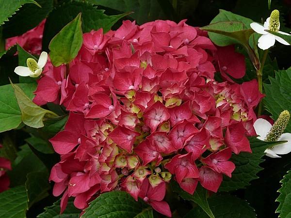 Hortensia-rouge---fleurs-houttuynia-9-07--12-070.jpg