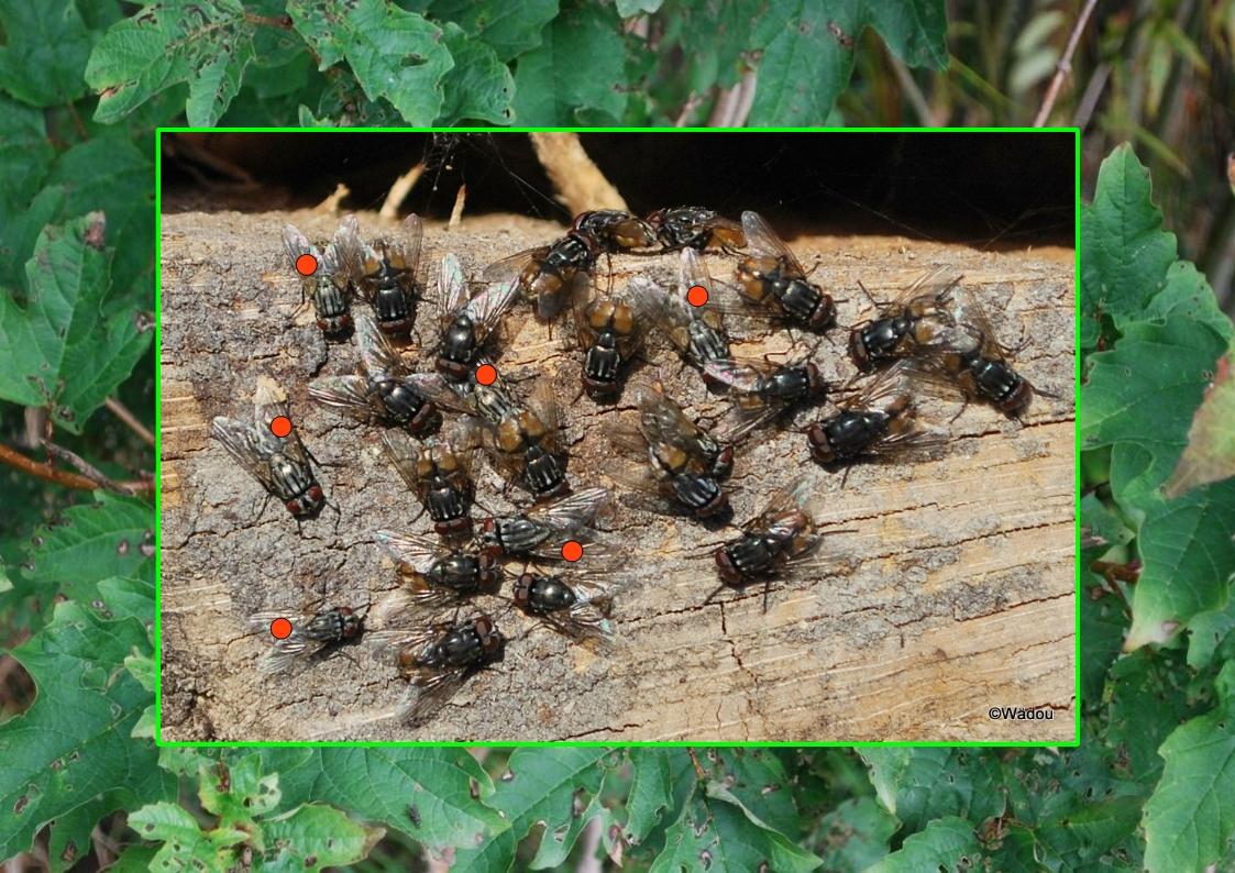 Mouche domestique  (Musca domestica)  Muscidae