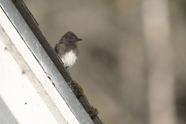 Black Phoebe - Little River Inn