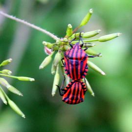 Graphosoma Lineatum ou Punaise Arleuin