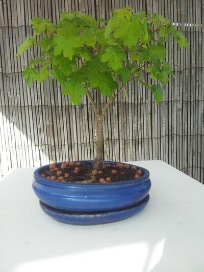 Mon bonzaï - Érable champêtre - Acer campestre