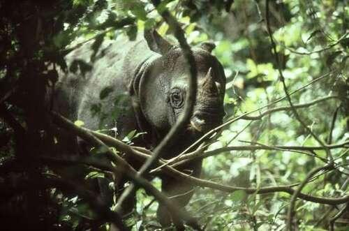 Rhinocéros de Java Rhinoceros sondaicus