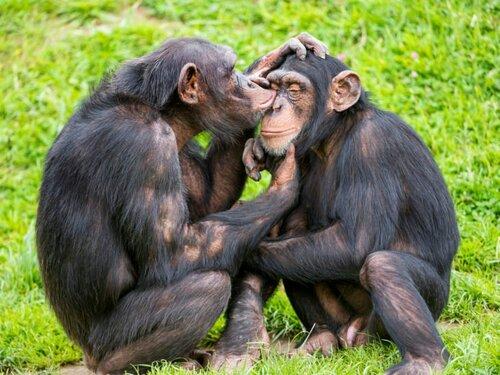 Français - écriture inclusive et... chimpanzés