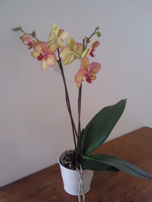 Ma phalaenopsis jaune veiné fuchsia
