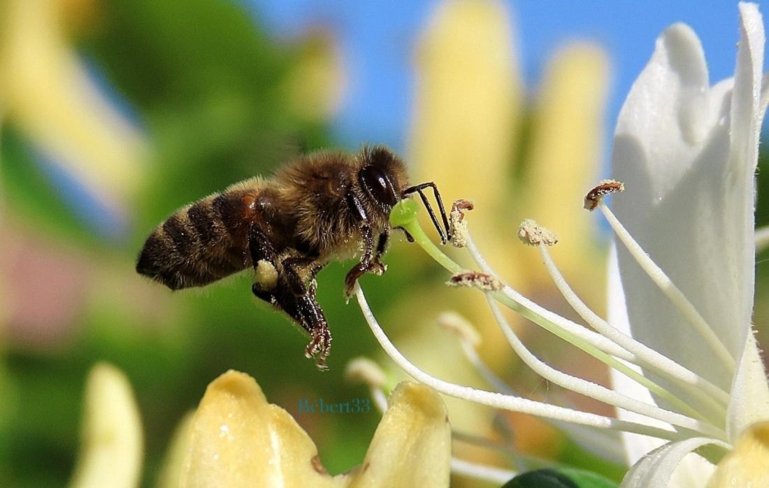 une abeille qui ...
