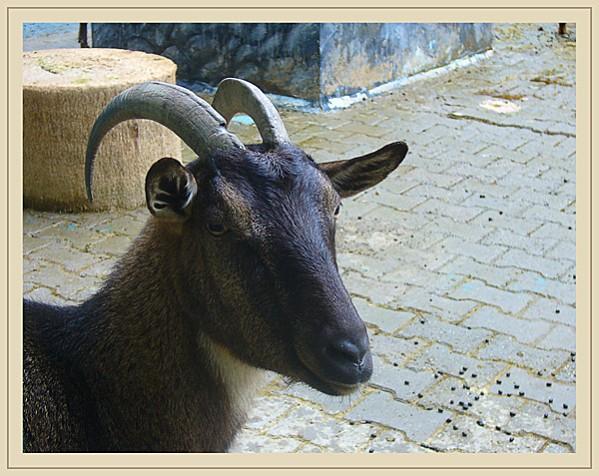 tête de chèvre noire