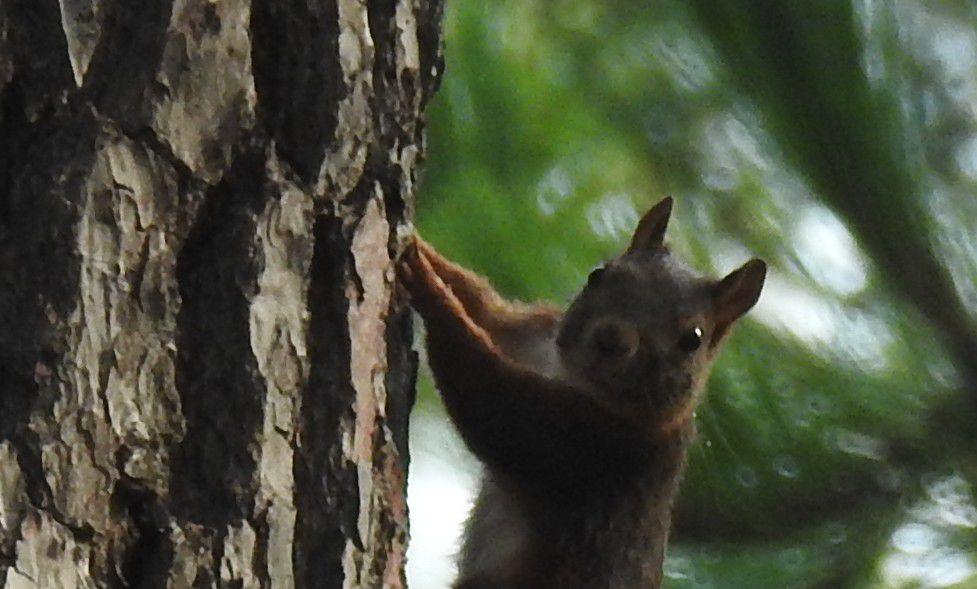 Un petit écureuil, plage de l'Aérium...