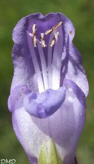 Prunella grandiflora  -  brunelle à grandes fleurs