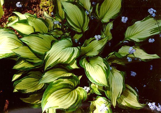 Hosta-fortunei--Albo-Picta-.jpg