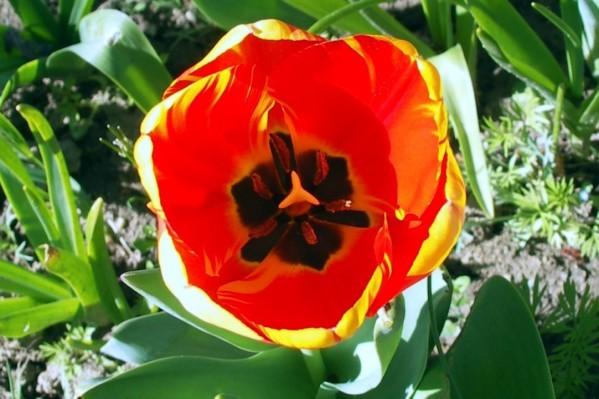 B1 - Tulipe