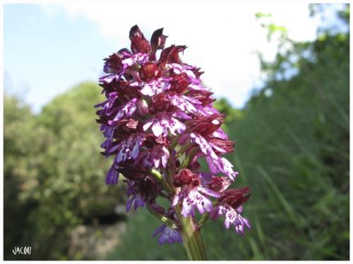 """- Valse des orchidées """"sauvages"""""""