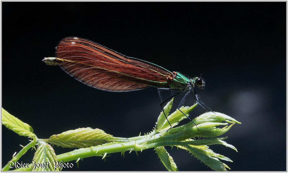 Caloptéryx Vierge (10) - Calopteryx virgo