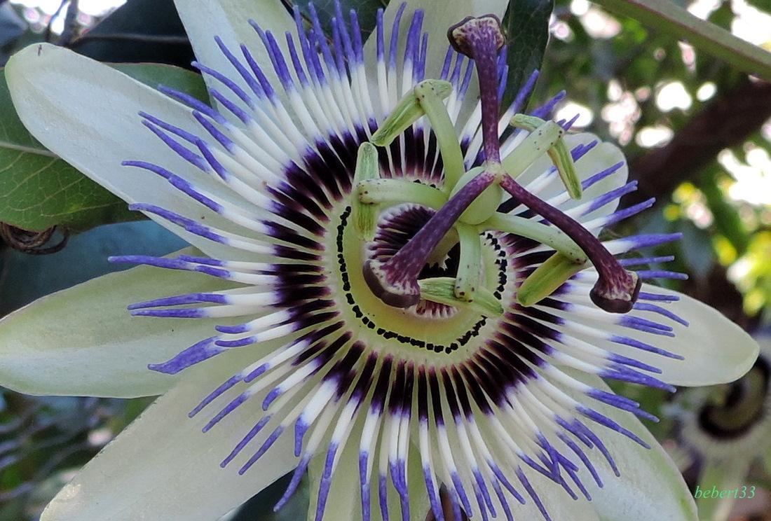 ma fleur de passiflore