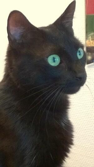 Le chat aux yeux turquoise