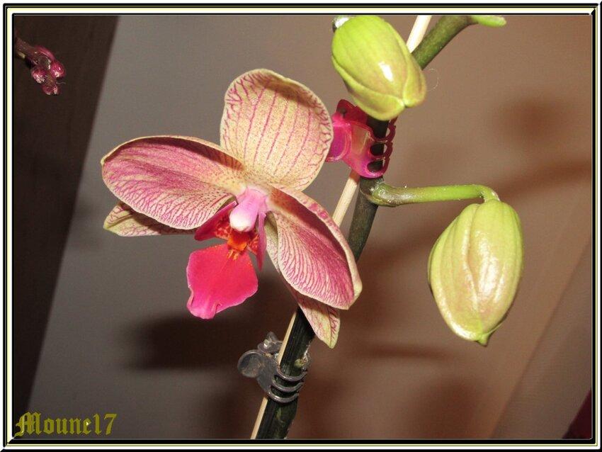 Nouvelle floraison de mes orchidées