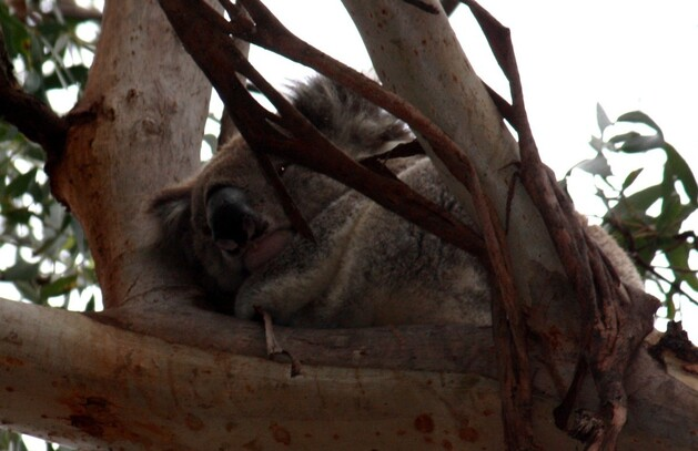 koalas1.jpg