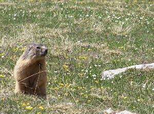 Marmotte - Queyras - Furfande