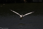 Pelican blanc