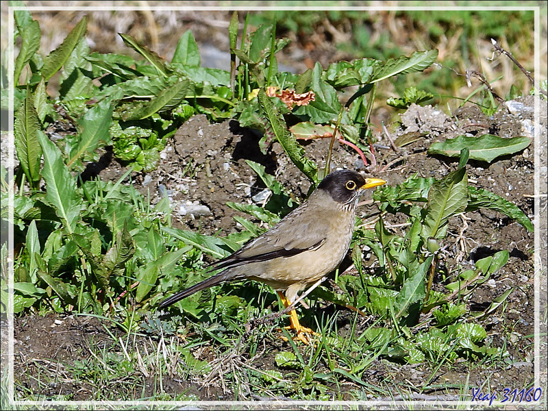 Merle austral, Austral Thrush (Turdus falcklandii) - Terre de Feu - Argentine
