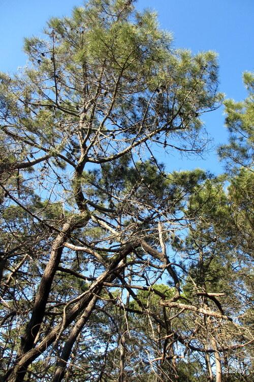 Barcarès: promenade dans la pinède