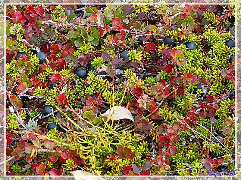Couleurs d'automne précoces pour les plantes de la toundra - Sermermiut - Ilulissat - Baie de Disko - Groenland