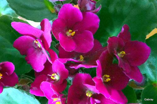 Une fleur en pot: la violette du Cap ...