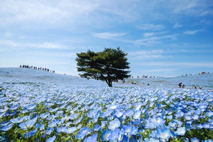 4,5 millions de fleurs bleues fleurissent dans un parc japonais comme un champ de fées
