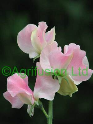Sweet Peas : Selection 2014