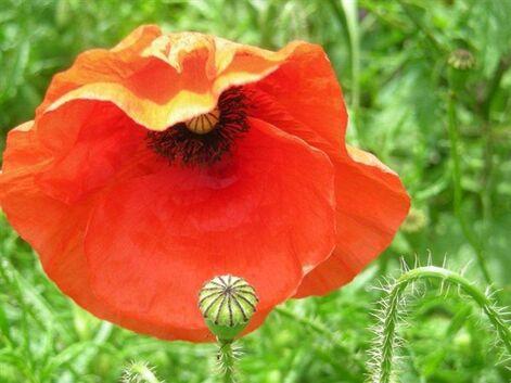 """""""fleur de campagne"""" ...."""