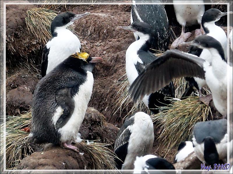 Cormoran impérial, Imperial Shag (Leucocarbo atriceps) et Gorfou doré, Macaroni Pinguin (Eudyptes chrysolophus) - Coffin's Harbour - New Island - Falkland (Malvinas, Malouines) - Grande-Bretagne
