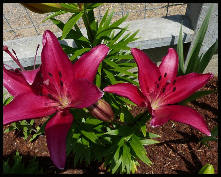 Les fleurs de mon jardin