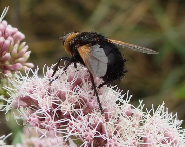 Tachina grossa,  l'Echinomyie grosse (Diptère Tachinidae)