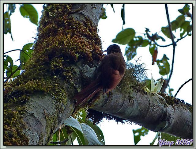 Blog de images-du-pays-des-ours : Images du Pays des Ours (et d'ailleurs ...), Grimpar tacheté (Xiphorhynchus erythropygius) - San Gerardo de Dota - Costa Rica
