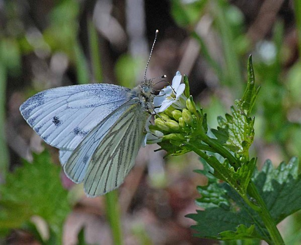 Insectes-papillons-3 0376 modifié-1