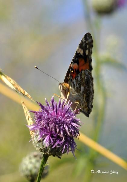 papillon-demi-deuil-0903.jpg