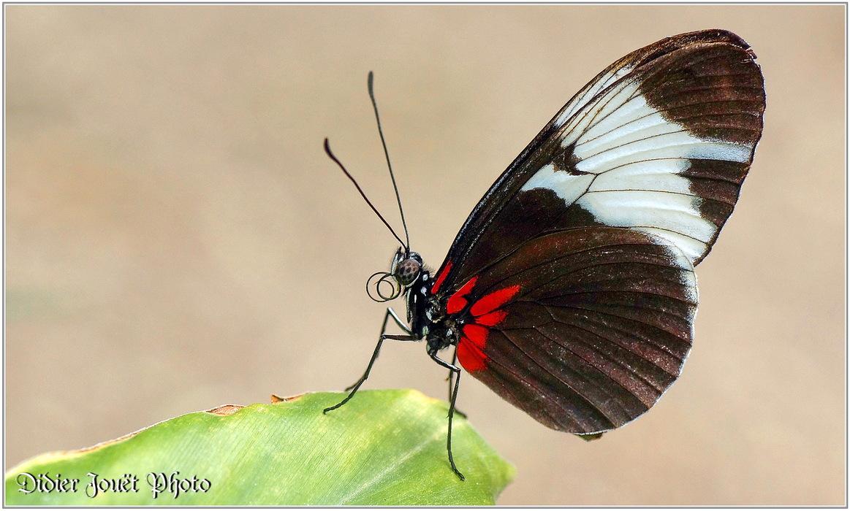 Papillon Sara / Heliconius sara