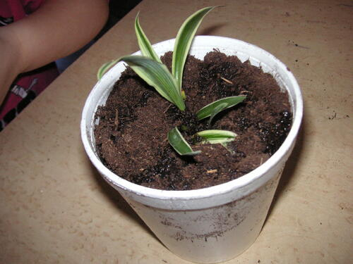 Les cp font des plantations.