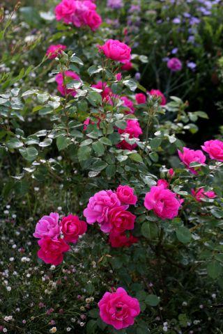 Les Roses de Warren : Prinnie