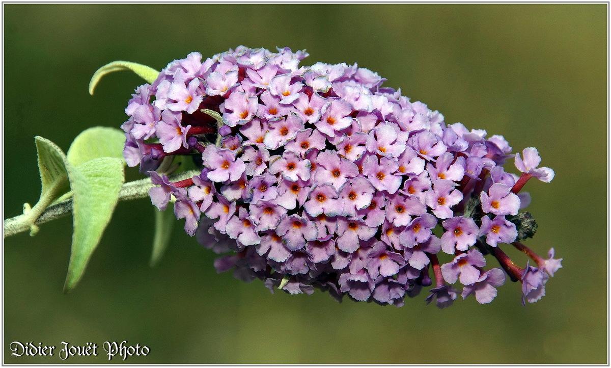 Buddléia (1) - Arbre à papillons (Buddleja)