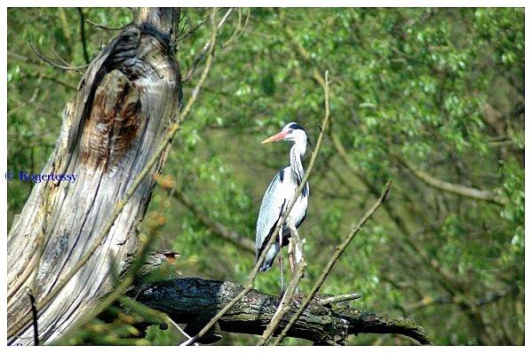 Herons-2011 0286 (Copier)