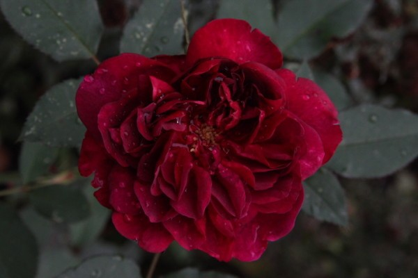 Darcey-Bussell 4610