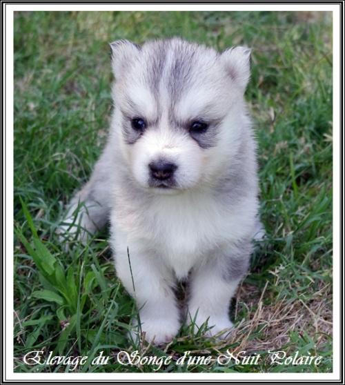 Chiot Husky Femelle 1 (25j)